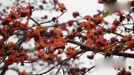 老广的味道:广州市花木棉花好看,还能煲汤祛湿养生