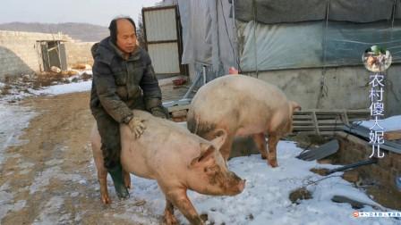 700斤母猪要下崽,老公一高兴骑着猪走出六亲不认步伐,真搞笑