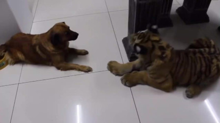 搞笑视频:真正的虎落平阳被犬欺!