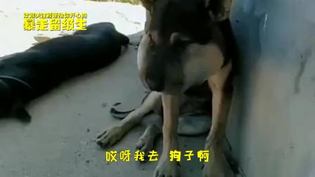 搞笑视频:为了寻欢作乐找刺激,这是传说中的打肿脸冲胖狗么?