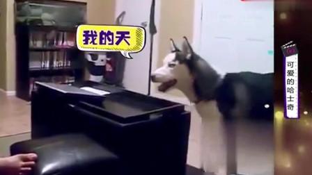 家庭幽默录像:哈士奇有着神奇的脑回路,让人