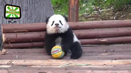 大熊猫可爱搞笑视频集锦