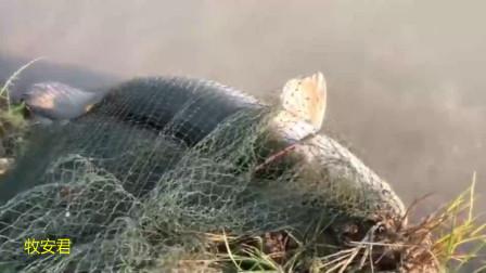 美女撒网捕鱼:拉上来一瞧,这才看见捕获一条50多斤重的大怪鱼