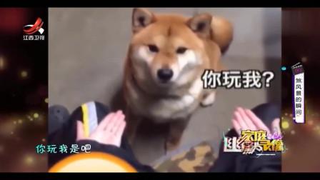 家庭幽默录像:狗狗被主人套路,狗狗幼小的心
