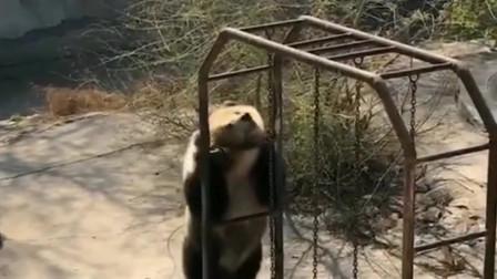 动物园里的大熊,昨天蹦了一晚上的养生迪,现在还没缓过劲来!