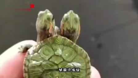搞笑视频:头一回见三个头的乌龟 这是一起合租