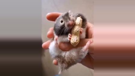 有趣和可爱的仓鼠搞笑视频汇总