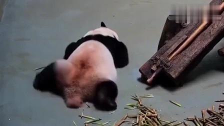 搞笑动物,熊猫哎呀,腿怎么放都不舒坦