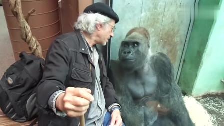 法国老头和大猩猩嘀咕着什么,没想到下一秒围