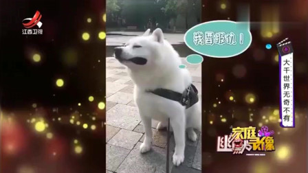 家庭幽默录像:一只被泰迪欺负的狗 ,躺地上委