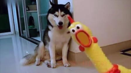 【搞笑视频】【二哈】 惨叫鸡把哈士奇整懵了,