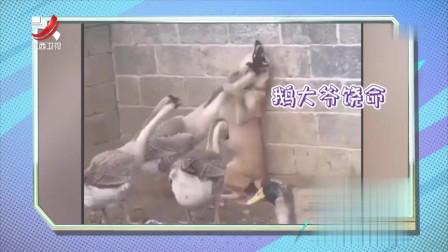 家庭幽默录像:面对来自于鹅的恶势力!各位勇