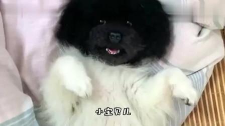 搞笑视频:那天你妈出去认识了一只黑泰迪 然后