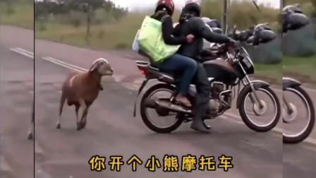 搞笑视频 这个是我见过脾气最差的一只老母羊不