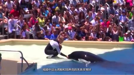 虎鲸看到美女不理自己,竟然吃醋耍威风!