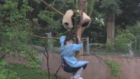熊猫上树玩耍被卡住下不来,美女:每次都这样,熊猫:我只管上树