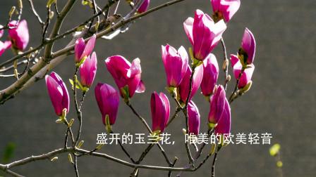 盛开的玉兰花,触及心灵的音乐,令你在春光里陶醉