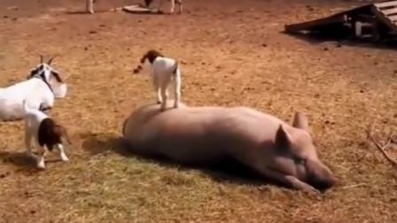 搞笑视频:意大利牧场好奇心害死羊,小羊爬到