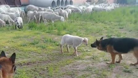 搞笑视频:敢在太岁头上动土,贵州贵阳小羊真