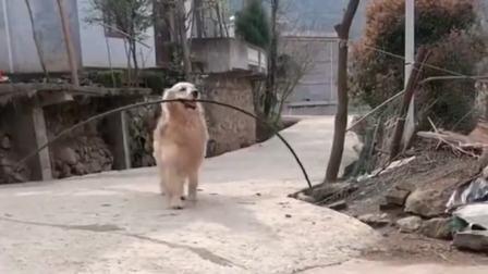 搞笑视频:河南洛阳狗大哥溜达完回家,果然又