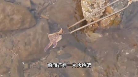 赶海刚来就发现一窝海星,美女还抓到了螃蟹和