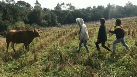 陜西美女:老牛,你吓到我了!牛:你们才吓人