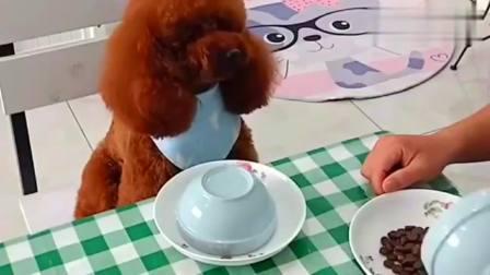 搞笑视频:泰迪看四川主人分配狗粮不公平,顿时生气了,那个表情太可爱了!