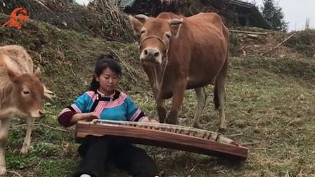 疫情期间:广西美女对牛弹琴,牛反应真是暖了