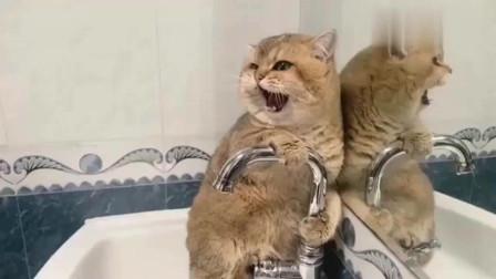 萌宠猫咪:这猫不是虚胖,是真胖!洗完澡后还是那么圆润