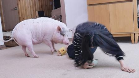 """美女在猪面前倒地""""装死"""",猪的反应绝了,网"""