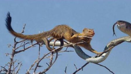 动物世界-技能与胆量完全不亚于平头哥的蛇獴