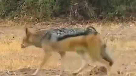 动物世界 这条蟒蛇一辈子也没想到会有如些下场 平头哥与狼争食蟒蛇