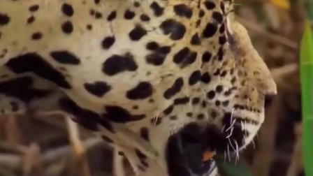 动物世界 豹子要咬平头哥 会发生什么