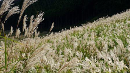 日本仙石原すすき草原 - 4K超高清