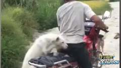 四川话爆笑动物配音:两只狗坐摩托要去金花哥