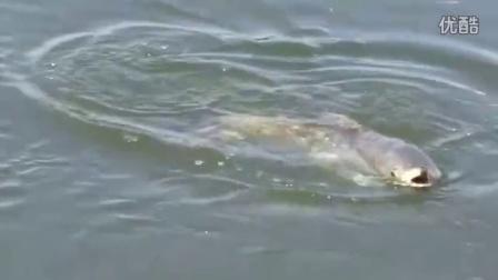 这个大草鱼有点大,劲真的大