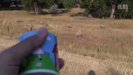 美國懷俄明州的羊群