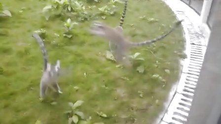广州动物园的环尾狐猴们