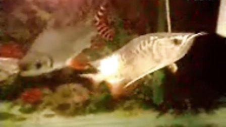 金龙鱼08年3月1日晚