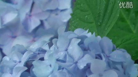 紫阳花绽放的季节
