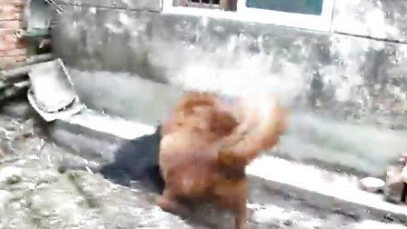 藏獒打架岳阳