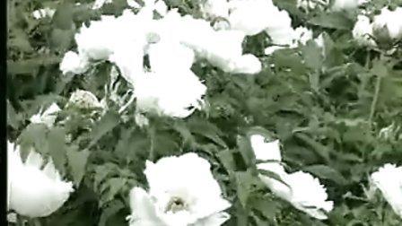 电视风光片《中国牡丹》春来香满凤凰山