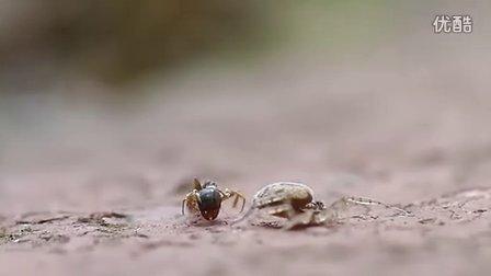蜘蛛一招完胜蚂蚁