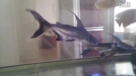 养了一年的两条汗鲨(志涛哥家)