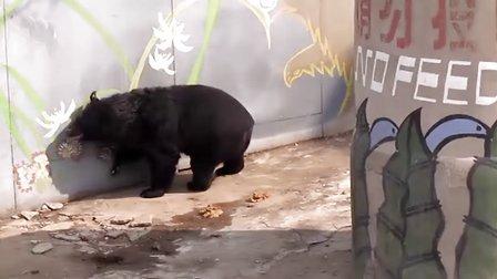 北京动物园中的黑熊的刻板行为