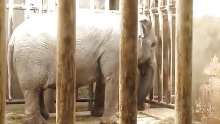 北京动物园中大象的刻板行为
