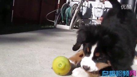 小狗与橙子的战争(好欢乐的音乐)