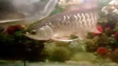 2008年5月26日晚手机拍摄金龙鱼
