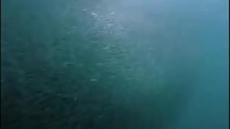 高超的捕食策略Dusky 海豚  Dusky Dolphins Corral Anchovies