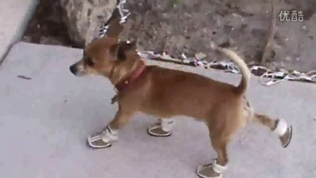 外國超級搞笑雷人視頻:吉娃娃狗的可怕之處。笑到不想吃飯。